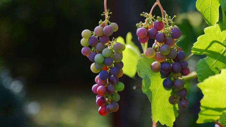 Super Wein zu Hause anbauen – im heimischen Garten – garten-bau.org @DD_02
